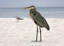 Heron at the Beach Royalty Free Stock Image