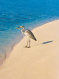 Heron on a beach Royalty Free Stock Photography