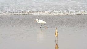 Heron on a beach. Heron on a tropical sea beach stock video