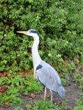 Heron bird. Close up of a heron Royalty Free Stock Photography