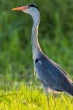 Heron Bird Close Water Grass stock image