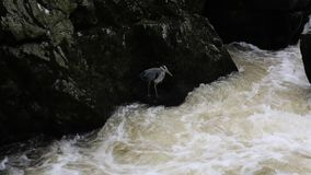Heron bird fishing by a fast flowing river stock video footage