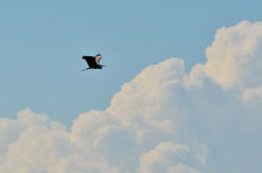 Heron bird flying Royalty Free Stock Images