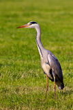 Heron bird in a grassland. Seeking for food Stock Images