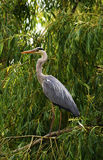 Heron bird on green tree Royalty Free Stock Photo