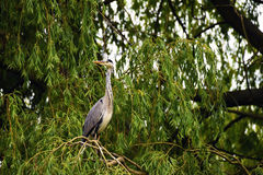 Heron bird on green tree Stock Photography