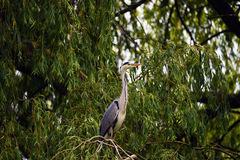 Heron bird on green tree Royalty Free Stock Photos