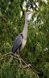 Heron bird on green tree Stock Images