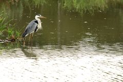 Heron Bird Hunting Royalty Free Stock Photos