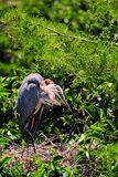 Heron Bird Looking At Its Babies Stock Image