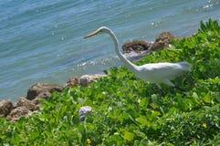 Heron; bird; Miami. A Heron in a grass on the coast in Miami Beach Royalty Free Stock Photography