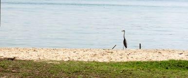 Heron bird near a beach in Singapore royalty free stock photo
