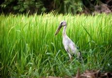 Heron bird in paddy farm Stock Photography