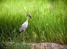 Heron bird in rice field Royalty Free Stock Image