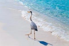 Heron bird at sand beach coast Stock Image