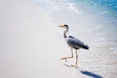Heron bird at sand beach coast stock images