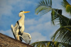 Heron bird showing off (Bathala - Maldives) Royalty Free Stock Images