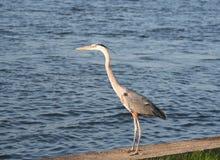 Heron Bird Standing by the Ocean Stock Image