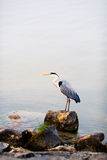 Heron bird on a stone in water. Heron bird on a stone against water background Stock Photography