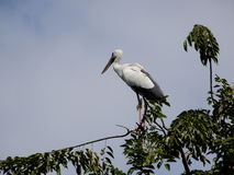 Heron bird on the top of tree Stock Images