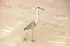 Free Heron Bird Walking On The Sand, Maldives Royalty Free Stock Photo - 90044505