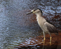 Heron Black-crowned. A Black-crowned night heron a Threatened species in Hawai`i patiently waiting for breakfast to be served between the ripples Stock Images