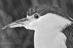 Heron royalty free stock image