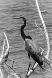 Heron - Black and White Royalty Free Stock Photography
