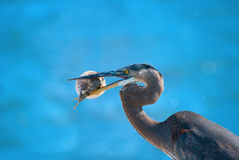 Heron with blowfish in it's beak Royalty Free Stock Image