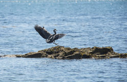 Heron. Blue heron landing on a rock at low tide stock images