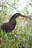 Heron blue water hunting Royalty Free Stock Image