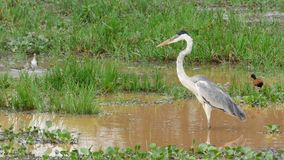 Heron in Bolivia, south America. Royalty Free Stock Photography