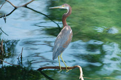 Heron on a branch. Royalty Free Stock Image
