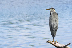 A Heron on a branch Stock Images