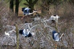Heron breeding Royalty Free Stock Photo