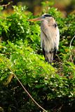 Heron breeding plumage Royalty Free Stock Photography