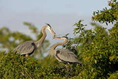 A heron brings nesting material. A great blue heron brings nesting material to the female Stock Image