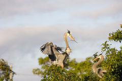 A heron brings in nesting material. To the female Stock Image
