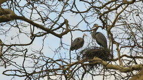 Heron Brings Sticks for a Nest stock video footage