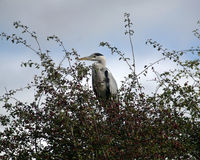 Heron in the bush Stock Photography