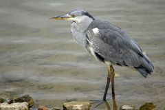 Heron In Canada Water Stock Photography