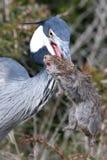 Heron and Catch Stock Photo