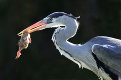 Heron and Catch Stock Images