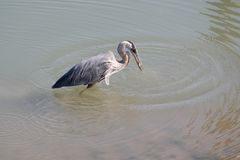 Heron Catches Fish Royalty Free Stock Photo