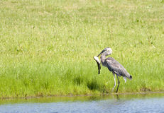 Heron catches fish. Royalty Free Stock Photo