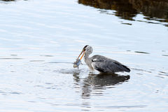 Heron catches a mullet Stock Photo