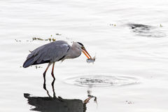 Heron catches a mullet Stock Image