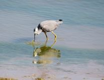 Heron catching dinner. This white-faced heron stabs down into the water to catch a meal Royalty Free Stock Image