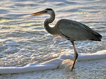 Heron catching fish Royalty Free Stock Photos
