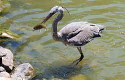 Heron Catching Fish Stock Photography